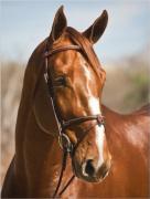 Darchin (Durango La Silla) 2002 Belgian WB Stallion